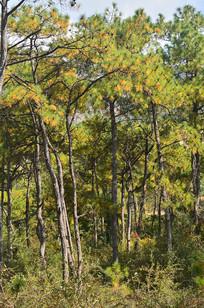 松树树木风景