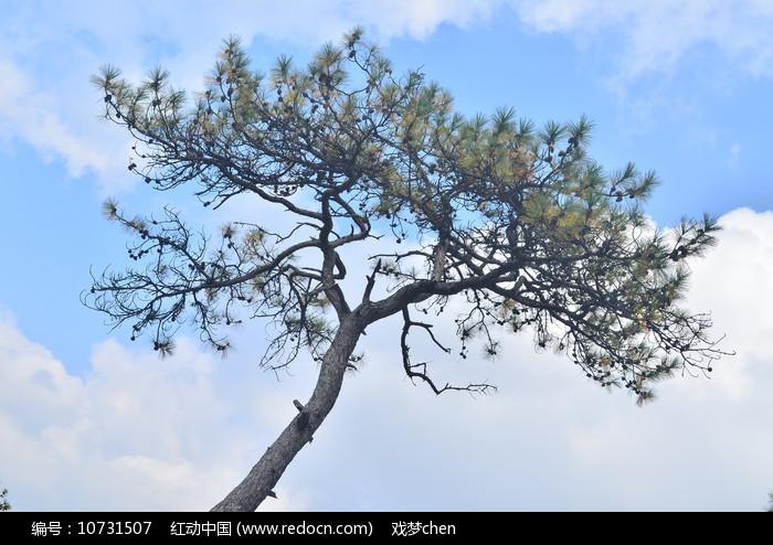 一棵松树图片