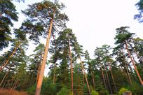 长白山林区红松林