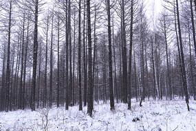 大兴安岭密林雪景