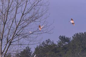 飞向树林的朱鹮
