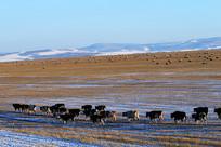 呼伦贝尔草原雪原牧场牛群