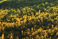 金色彩林的秋季林海