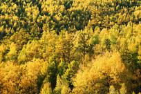 林海秋天金色树林