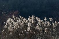 逆光芦苇花丛