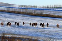 雪原牧场奔跑的马群