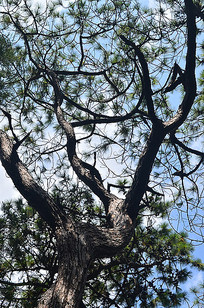 一棵松树树木