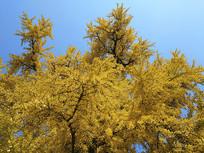 晴朗天银杏古树
