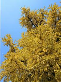 银杏古树枝繁叶茂