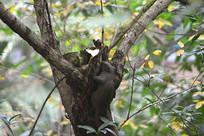 山区树林枝叶间的野生赤腹松鼠