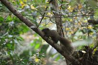 树林枝叶间的野生动物赤腹松鼠
