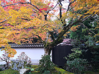 日本大枫叶古树