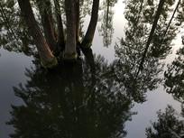 水中杉树林