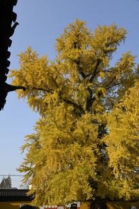 参天银杏大树