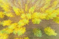 航拍树林金色树叶