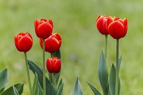 橘红色郁金香