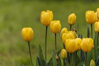 金色的郁金香