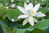 白色的莲花