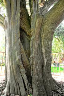 北京中山公园古木槐柏合抱树