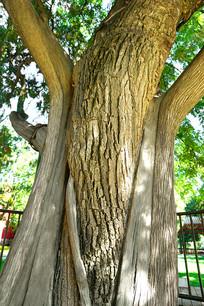 古木奇观-槐柏合抱树