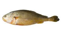 海产品食材黄花鱼抠图白底摄影