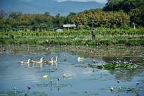 莲花池塘里的一群鸭子
