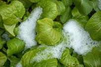 雪地里的绿色蔬菜