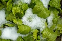 雪地里的蔬菜