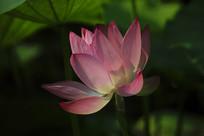一朵透亮的红莲