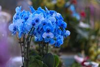 蓝色蝴蝶兰