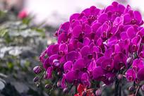 一盆玫红蝴蝶兰