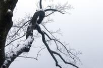 积雪的扭曲树枝