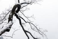雪打的扭曲树枝