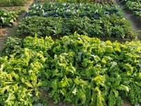 菜园农作物