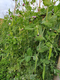 荷兰豆绿色蔬菜