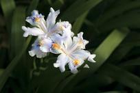 两朵鸢尾花