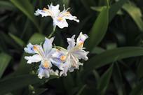 三朵鸢尾花