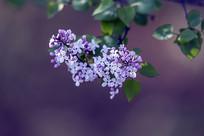 芬芳丁香花