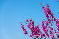蓝天下的紫荆花