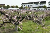 桃花村盛开的桃树