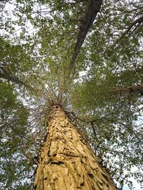 笔挺楠木树
