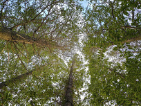 仰望楠木林
