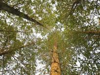 仰望挺拔楠木林