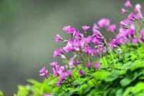 坡上盛开的红花醡浆草