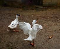 展翅的鸭子