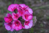 一朵天竺葵