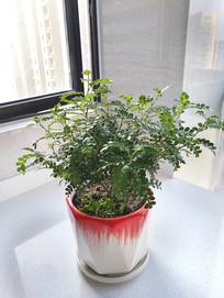 胡椒木绿植盆栽