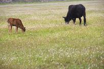 草场牛宝牛妈