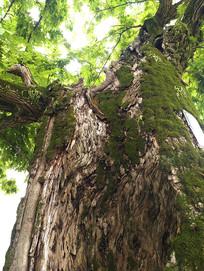 空洞黄杨古树