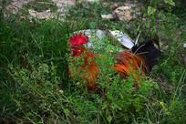 草丛中的公鸡